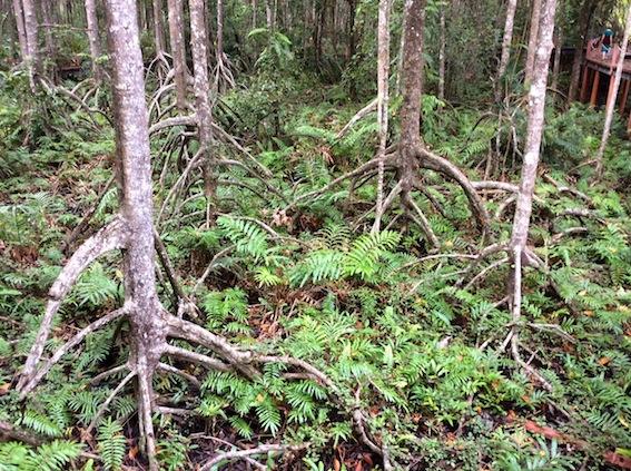 Mangrove Trees Penang