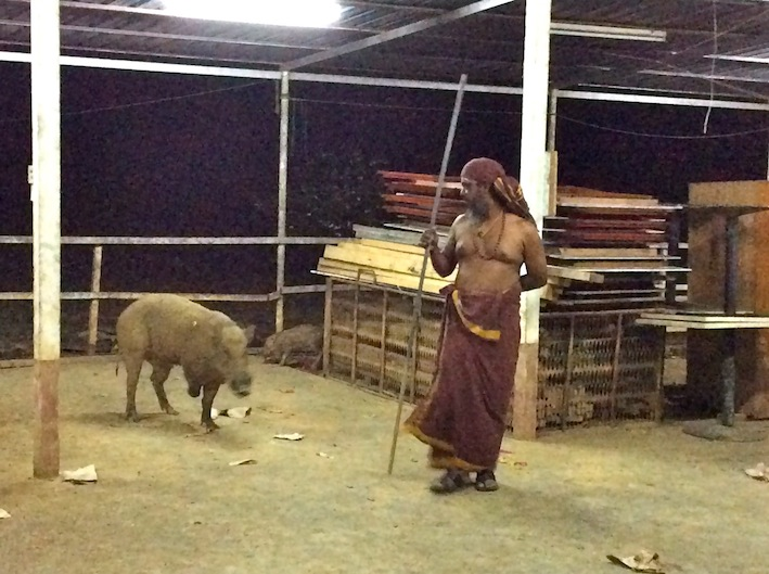 3-legged pig