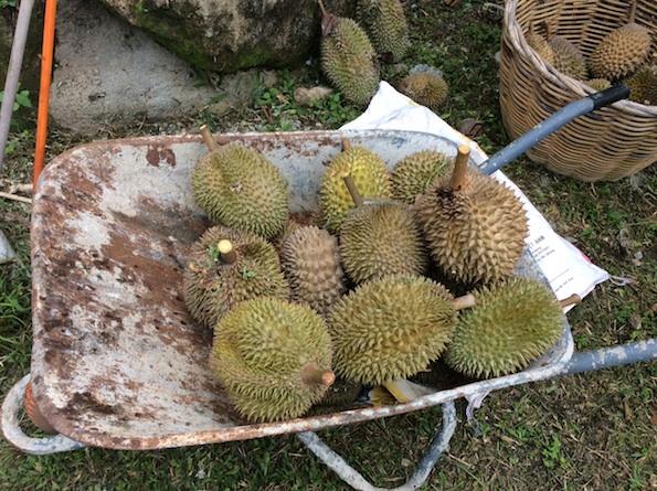 Durian Balik Pulau Penang
